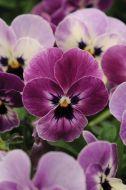 Sorbet XP Raspberry (Viola)
