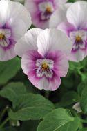 Sorbet XP Pink Halo (Viola)