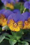Sorbet XP Morpho (Viola)