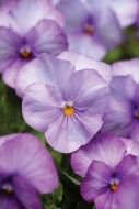 Sorbet XP Lavender Pink (Viola)