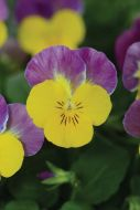 Sorbet XP Yellow Pink Jump Up (Hybrid/Viola)