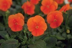 Sorbet XP Deep Orange (Hybrid/Viola)