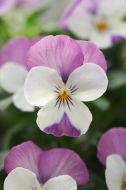 Sorbet XP Pink Wing (Viola)