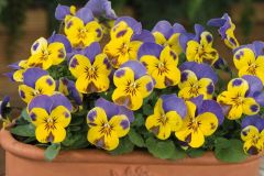 Sorbet XP Yellow Blue Jump Up (Viola)