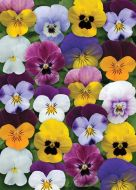 Sorbet XP Spring Select Mix (Viola)