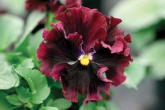 Frizzle Sizzle Burgundy (Pansy)