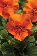 Frizzle Sizzle Orange (Pansy)