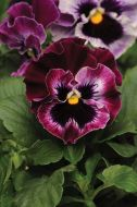 Frizzle Sizzle Raspberry (Pansy)