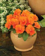 ColorMax Clear Orange  (Viola/primed)