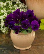 ColorMax Clear Purple (Viola/primed)