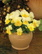 ColorMax Lemon Splash (Viola/primed)