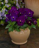 ColorMax Purple Glow (Viola/primed)