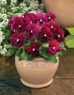 ColorMax Rose w/blotch (Viola/primed)
