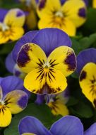 Quicktime Yellow Blue Jump Up (Viola)