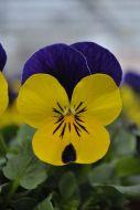 Quicktime Yellow Violet Jump Up (Viola)