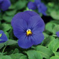 Quicktime™ Blue (Viola)