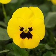 Quicktime™ Yellow Blotch (Viola)