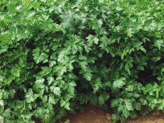 Gigante D'Italian (Parsley/plain leaf)