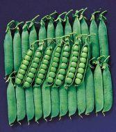 Spring (Garden peas/early)