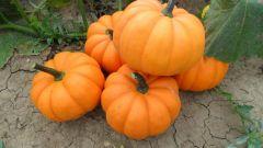Orangita (Hybrid Pumpkin)