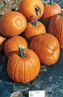 Howden (O/P Pumpkin)