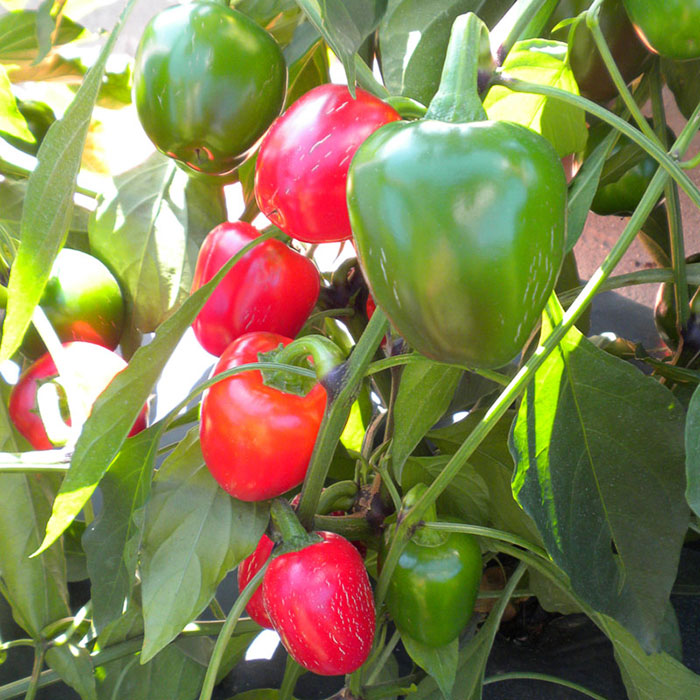 Grandi Red Cherry Hot (Hybrid Hot Pepper)