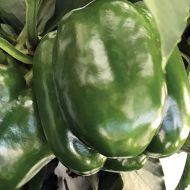 Placepack (Hybrid Sweet Pepper)