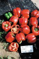 Alliance (Hybrid Sweet Pepper)