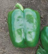 PS09941819 (X5R) (Hybrid Sweet Pepper)