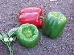 Karisma (Hybrid Sweet Pepper)