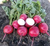 Red Jewel (Hybrid Radish)