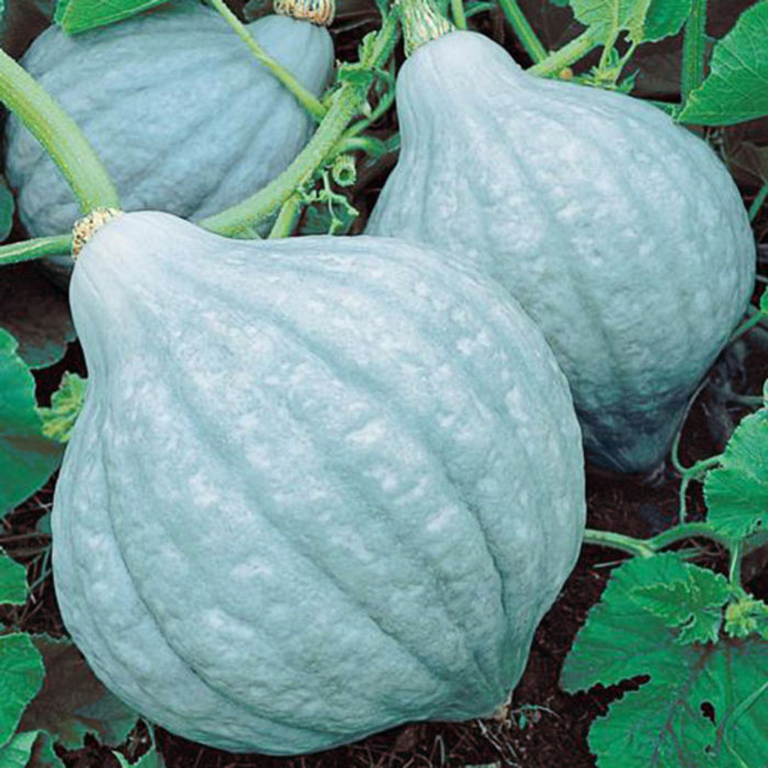Blue Magic (Hubbard Squash)