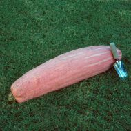 Pink Banana (Hybrid Winter Squash)