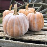 Autumn Frost (Hybrid Winter Squash)
