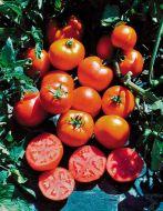 Sub Arctic Maxi (Bush Tomato)