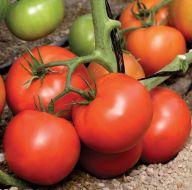 Skyway V1V2FFF (Hybrid Tomato)