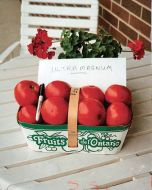 Ultra Girl VFN (Hybrid Staking Tomato)