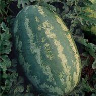 Royal Sweet (Watermelon/diploid)