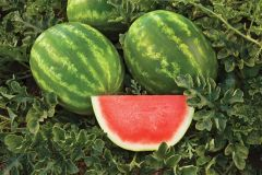 Captivation (Watermelon/triploid)