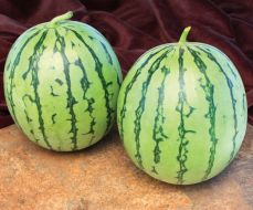 Wild Card (Triploid Pollinator Watermelon)
