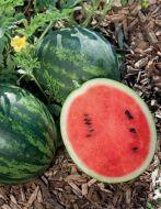 Mini Love (Watermelon/diploid)