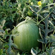 Ace Plus (Triploid Pollinator Watermelon)