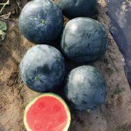 Sugar Baby (Watermelon/diploid/O/P)