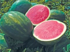 Troubadour (Watermelon/triploid)