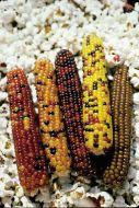 Cutie Pops (Corn/O/P/ornamental/untreated)