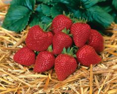 Elan (Strawberry/hybrid)