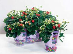 Delizz® (Strawberry/hybrid)