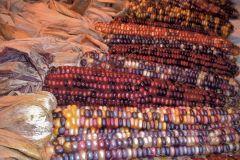 Indian Ornamental Blend (Corn/O/P/ornamental)