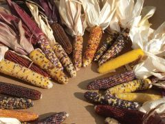 Red Husk Spectrum Mix (Corn/O/P/ornamental/untreated)