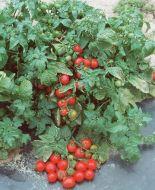Tiny Tim (Cherry Tomato)